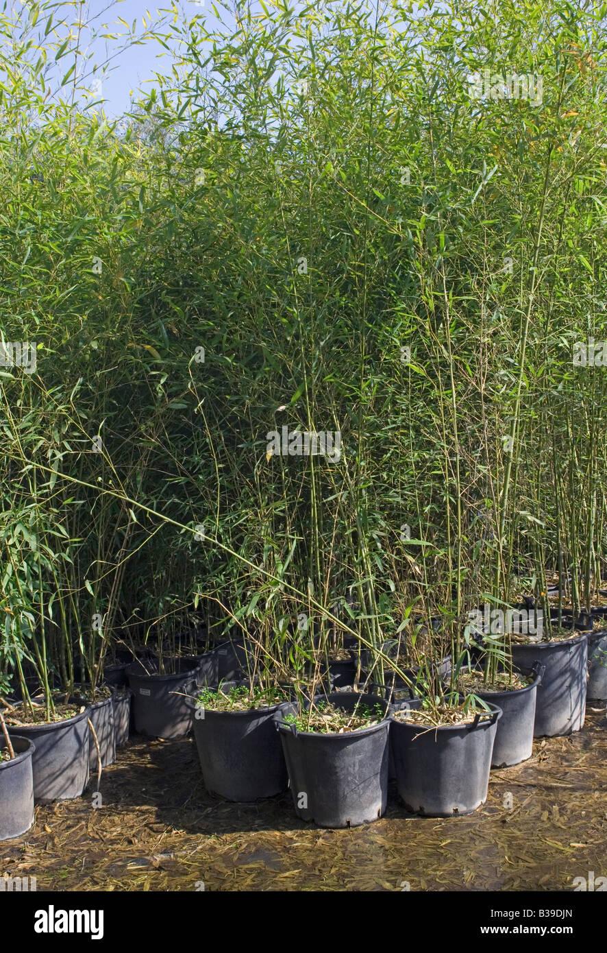 Bambus Pflanzen In Topfen In Baumschule Stockfoto Bild 19262621