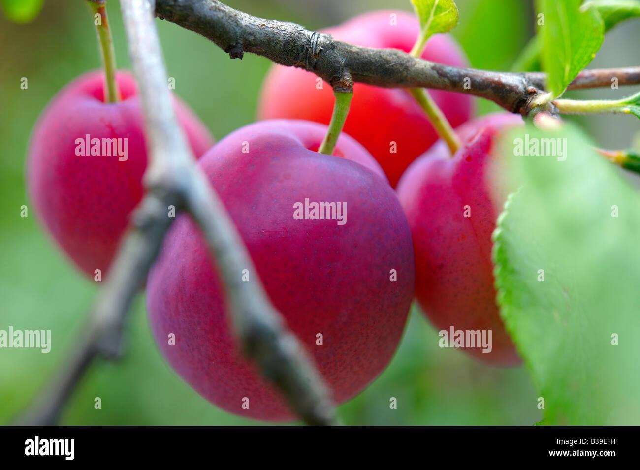 Frische rote Victoria Pflaumen reif auf einem Pflaumenbaum in einem Obstgarten wachsen Stockbild