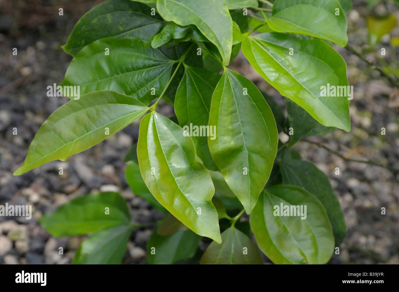 Strychninbaum 100 Samen Strychnos nux-vomica Krähenaugenbaum Brechnuss
