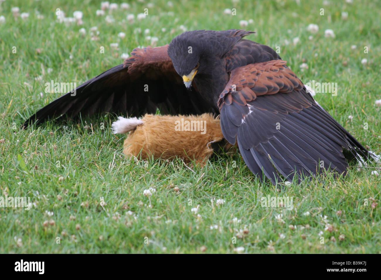 Ein großer Raubvogel in einer Falknerei-Anzeige im Vereinigten Königreich Stockbild