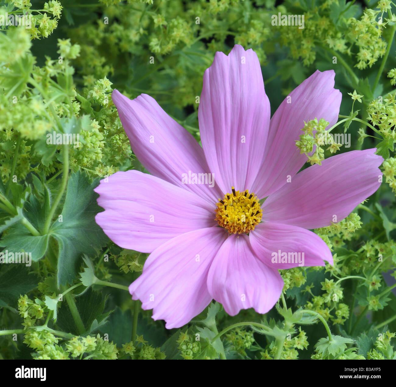 Rosa Cosmos und Damen Mantel, Alchemilla mollis Stockbild