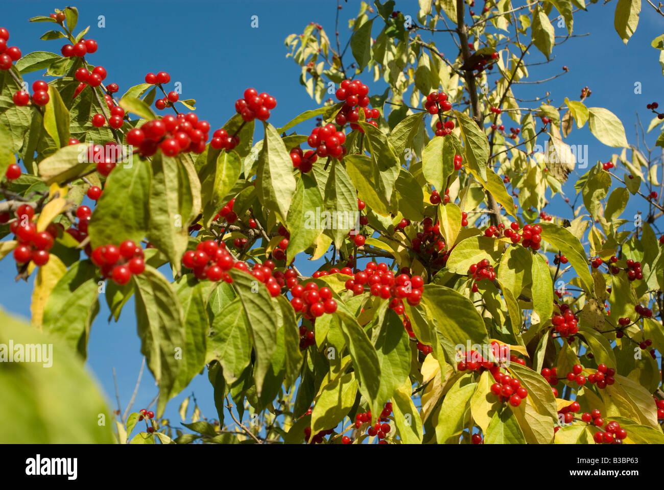 Etwas Neues genug Rote Beeren wachsen auf einem Baum im Spätherbst Stockfoto, Bild &WF_04