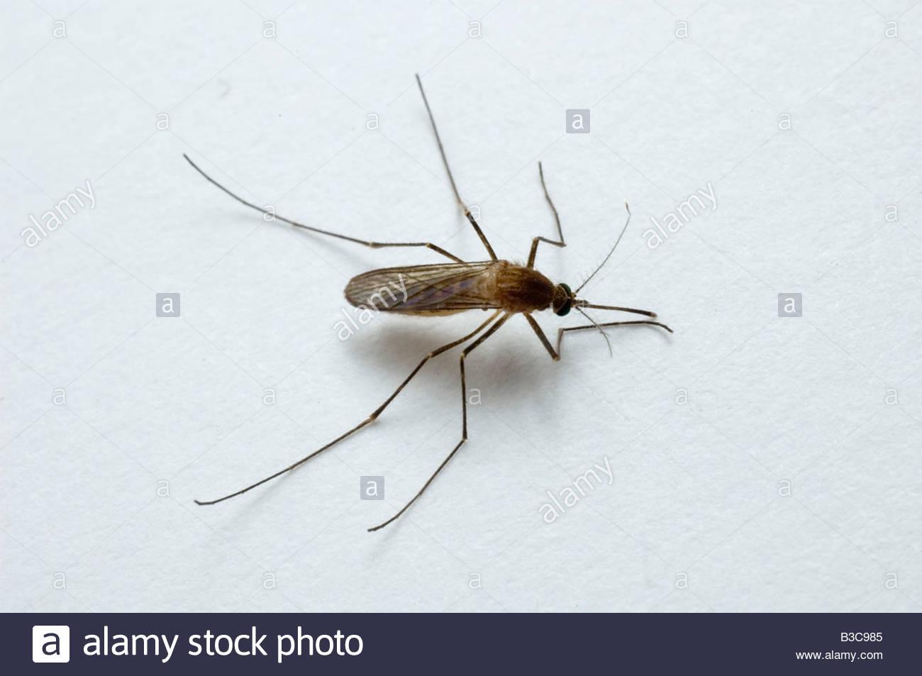 Weiblichen Culex-Mücken Stockfoto, Bild: 19325045 - Alamy