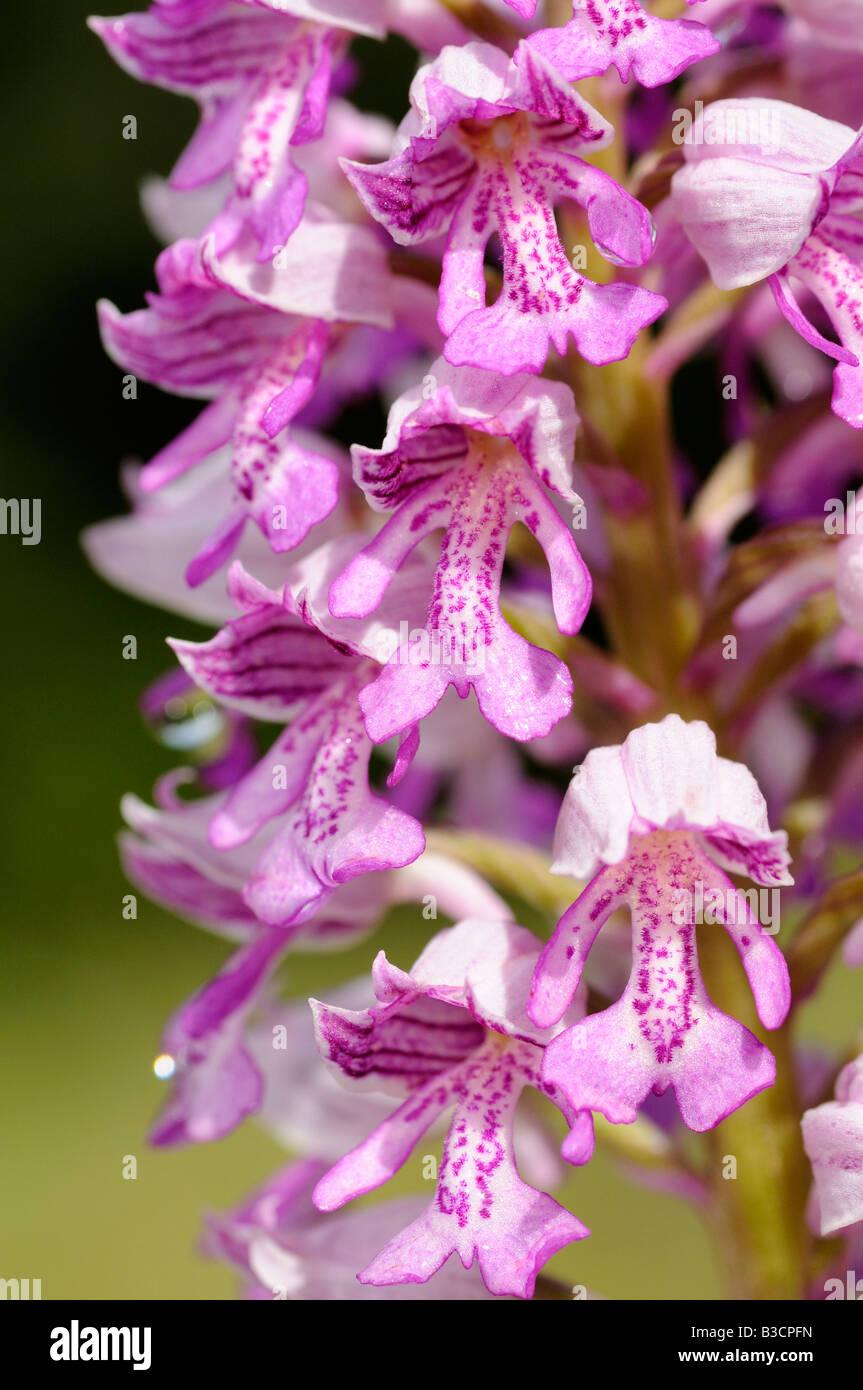 Militärische Orchidee Orchis Militaris Orchidee Stockbild