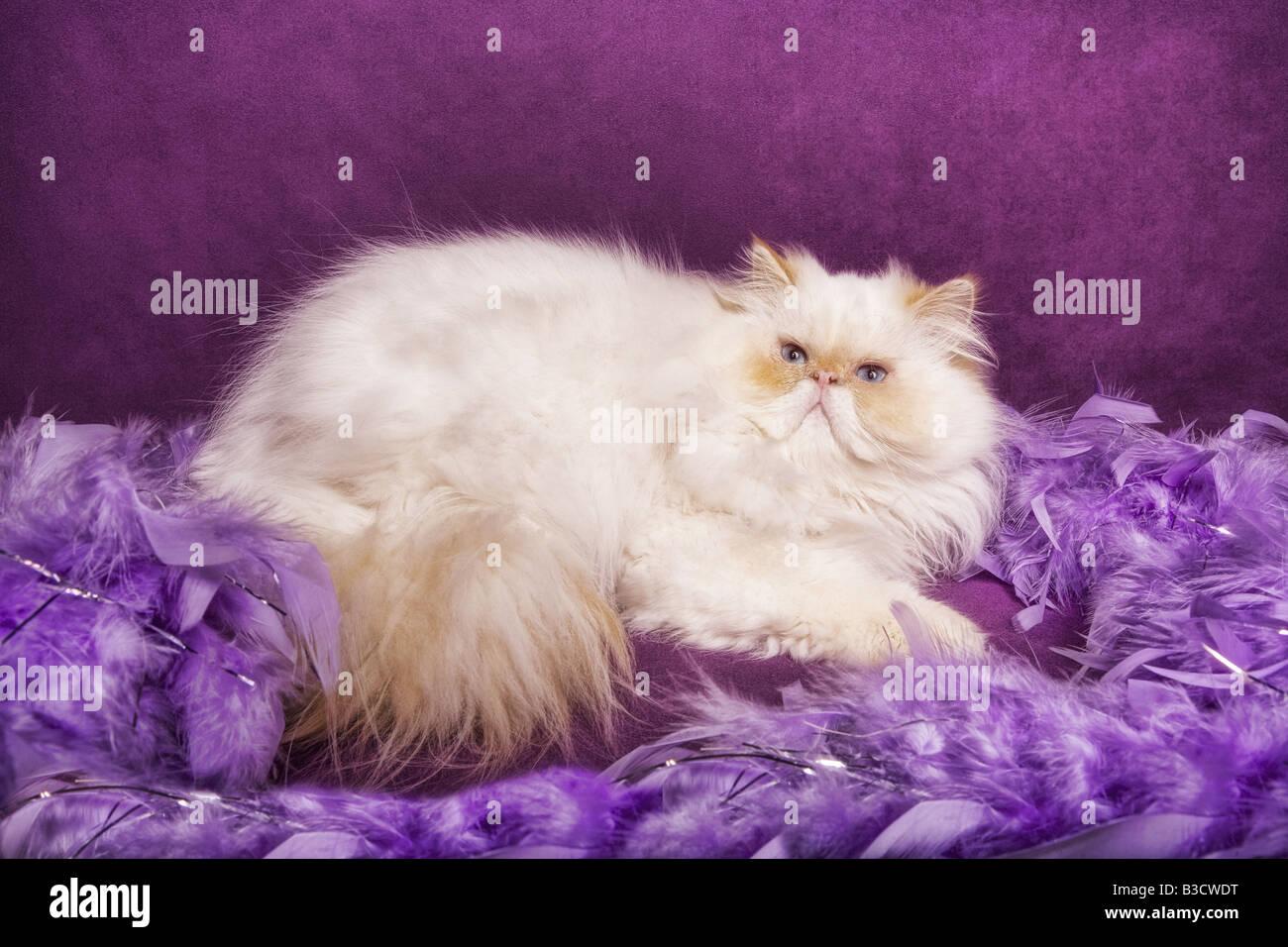 sch ne flamme punkt himalaya katze liegend auf lila hintergrund mit lavendel federboa stockfoto. Black Bedroom Furniture Sets. Home Design Ideas