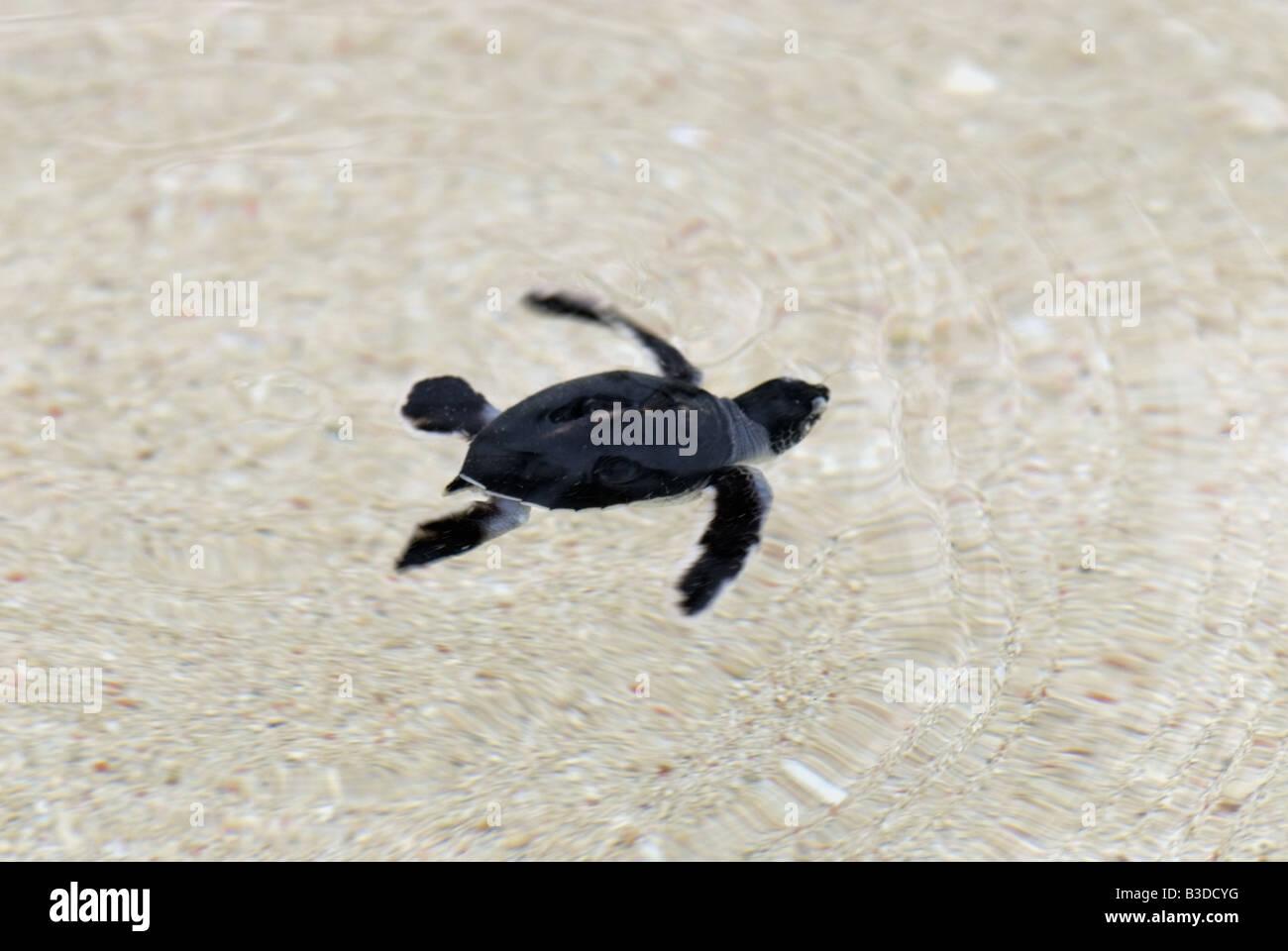 Ausgezeichnet Baby Meeresschildkröte Färbung Seite Fotos - Entry ...