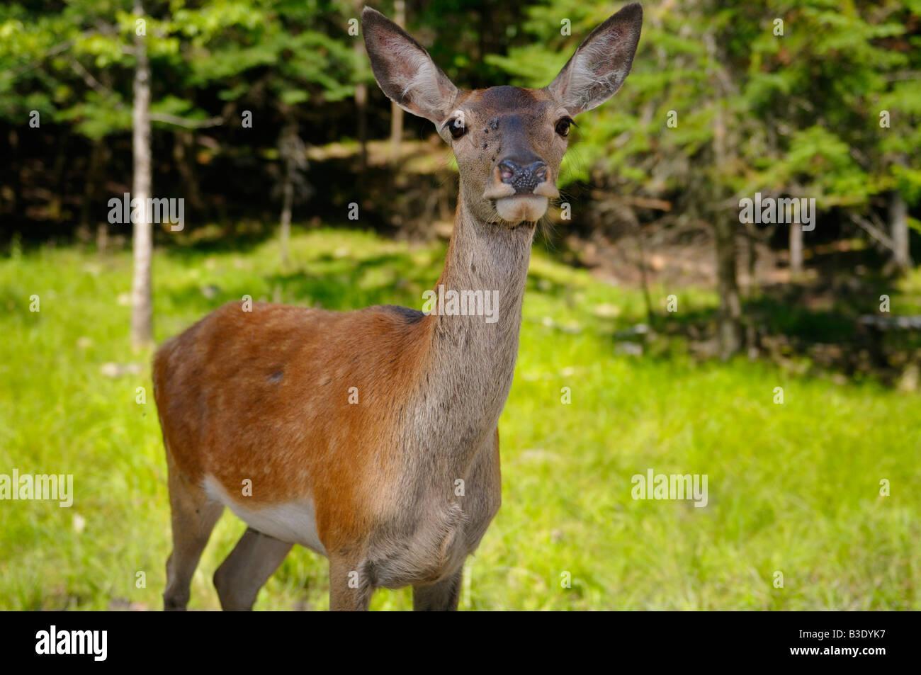 Red Deer Hind nahe bewahren in ein sonniges Gemüt Omega Park in Quebec Stockbild