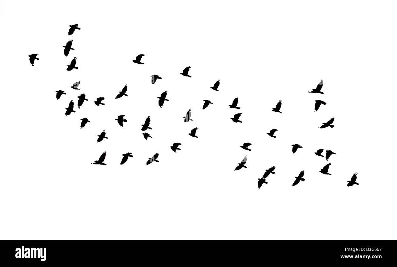 Strömen Sie schwarze Krähen im Flug Stockbild