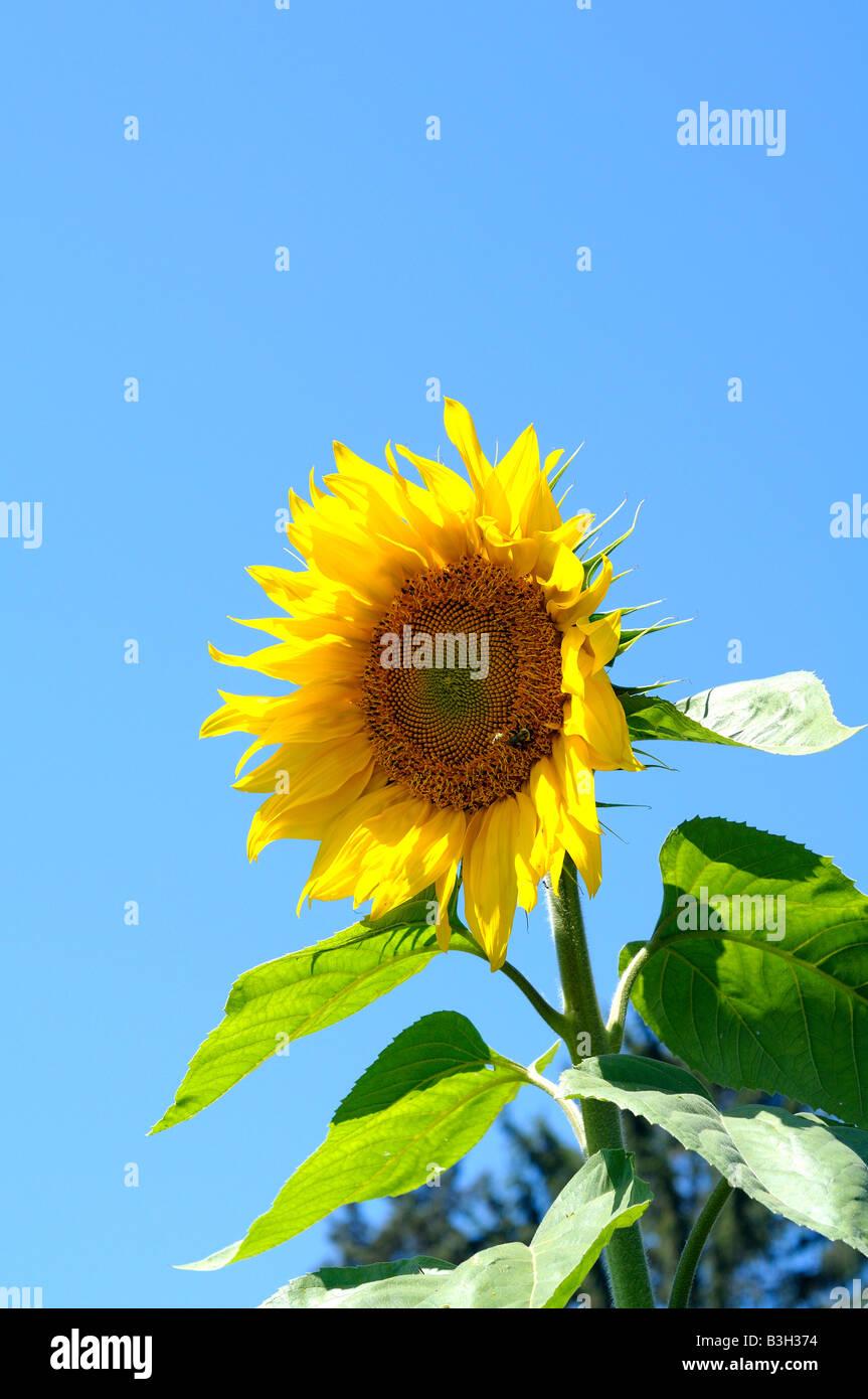 Eine Sonnenblume mit einem strahlend blauen Himmel Stockbild
