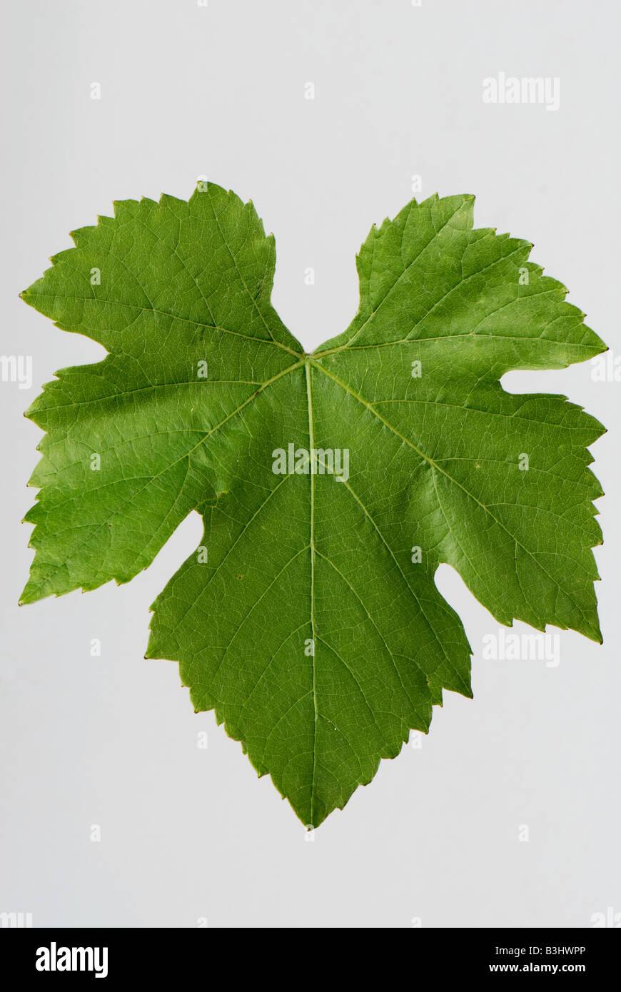Ein einzelnes Weinblatt vor einem weißen Hintergrund Stockbild