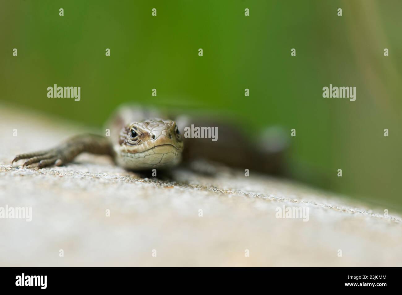 Zootoca Vivipara. Gemeinen Eidechse Stockfoto