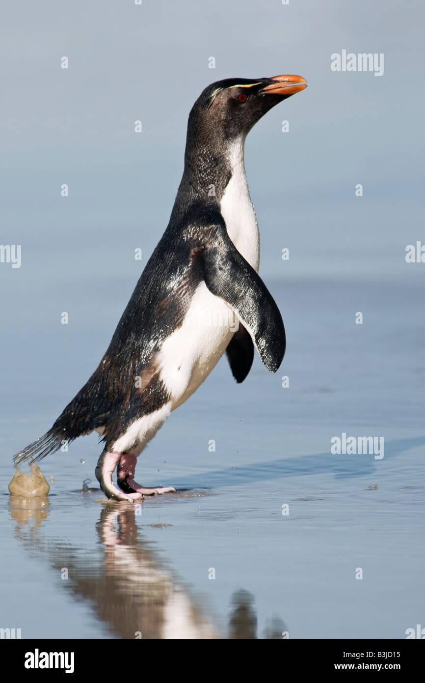 Rockhopper Penguin Stockbild