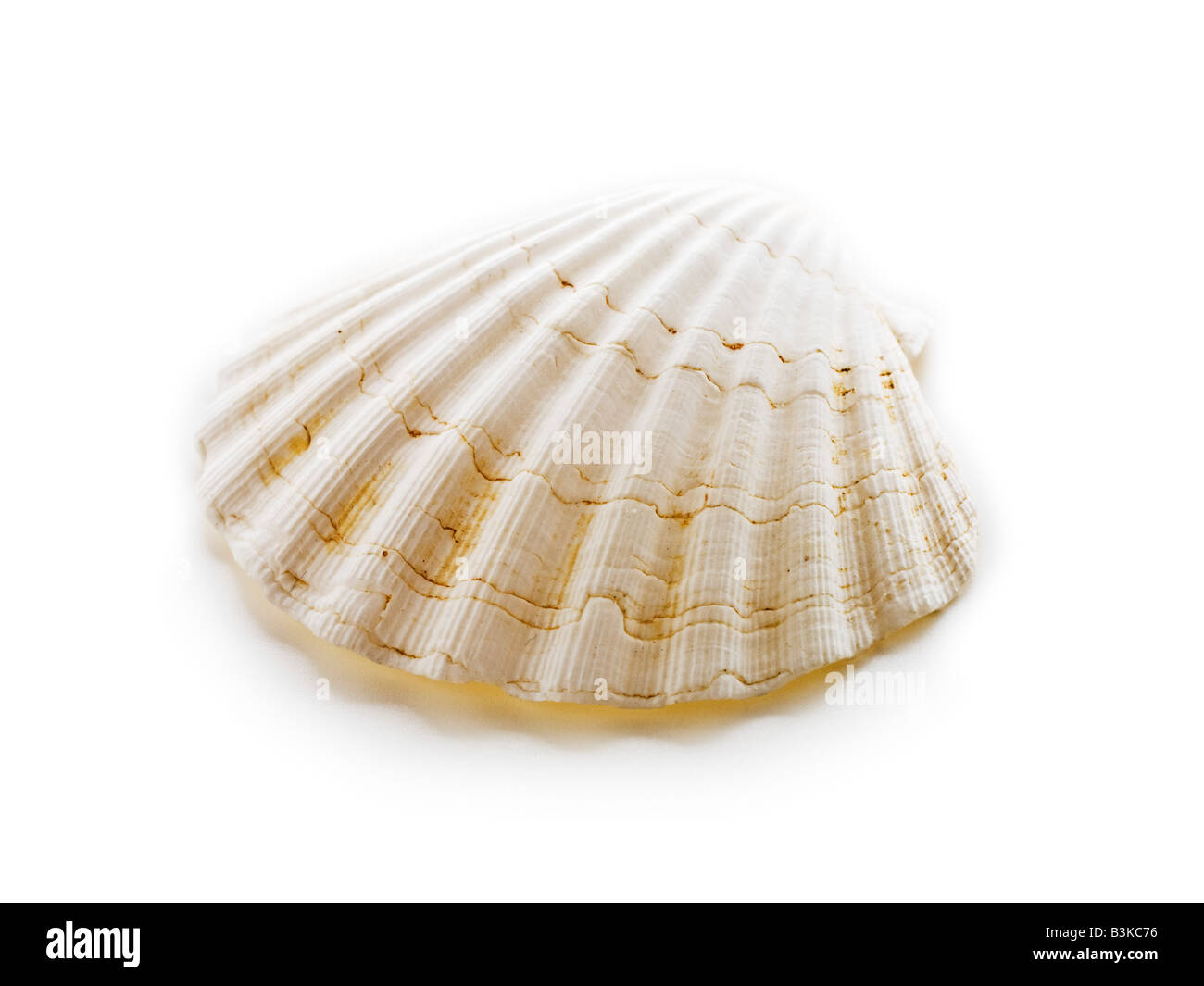 Sea Shell Klemme Auster Stockbild