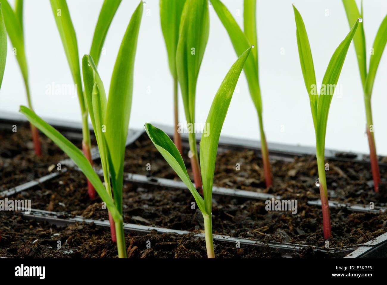 Mais Zea Mays Sämlinge in Wohnungen der Pflanzen sind 1 2 Wochen alt Stockbild