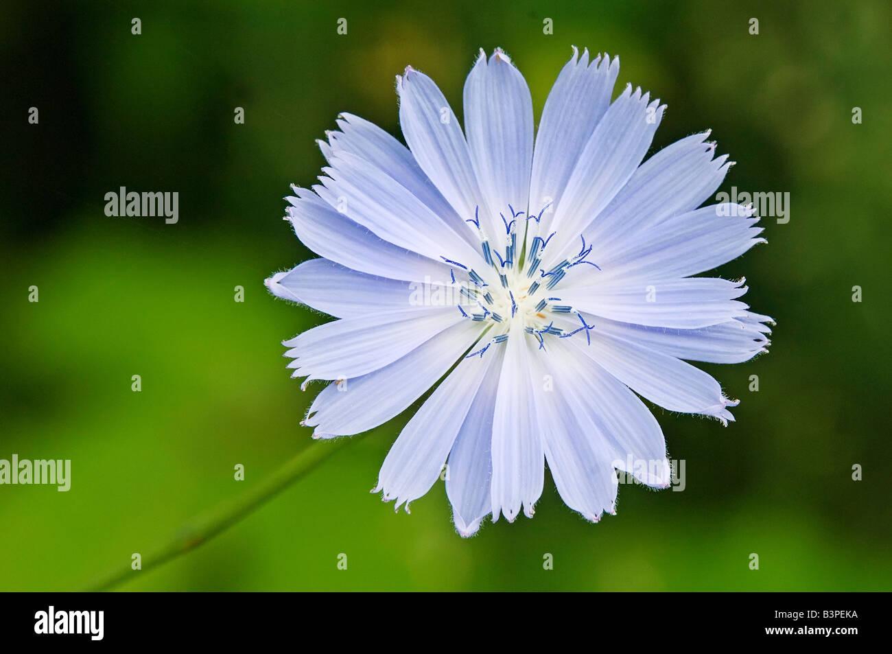Mais Blume Blüte Stockbild