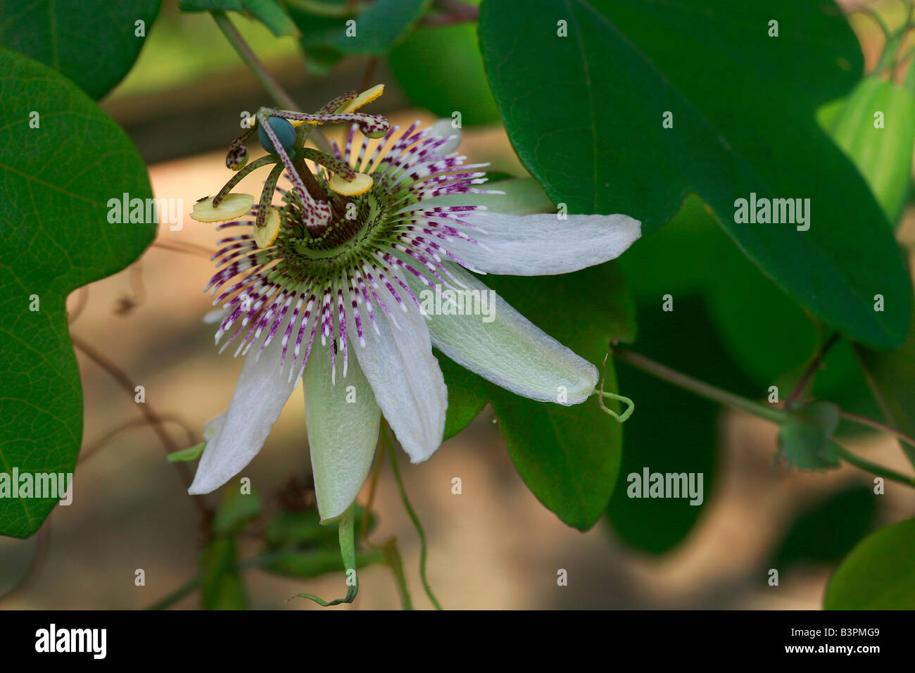 "Passiflora ""St. Rule"" Stockbild"