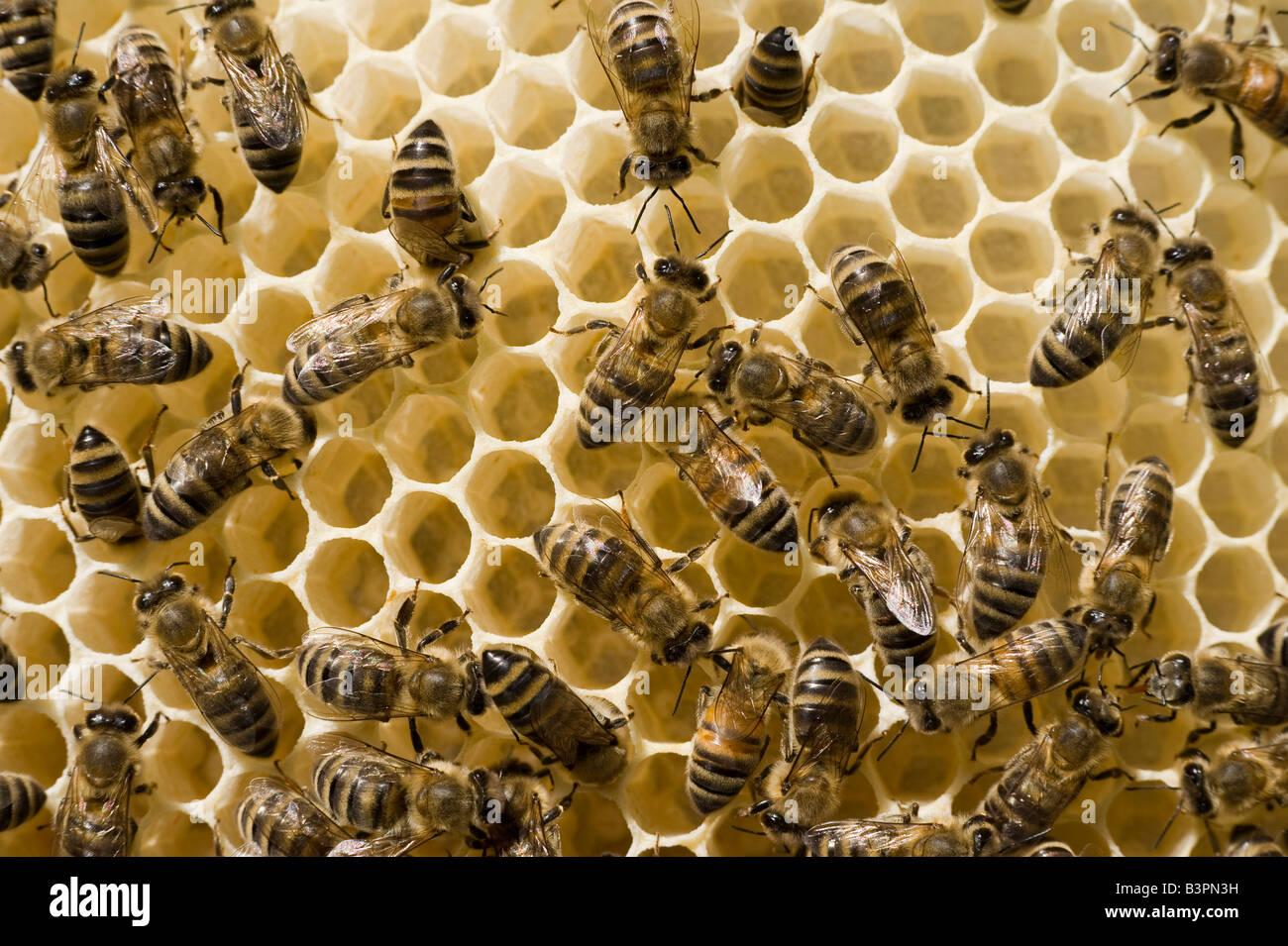 Bienen (Apis Melifera Carnica) in einem Bienenstock Stockbild