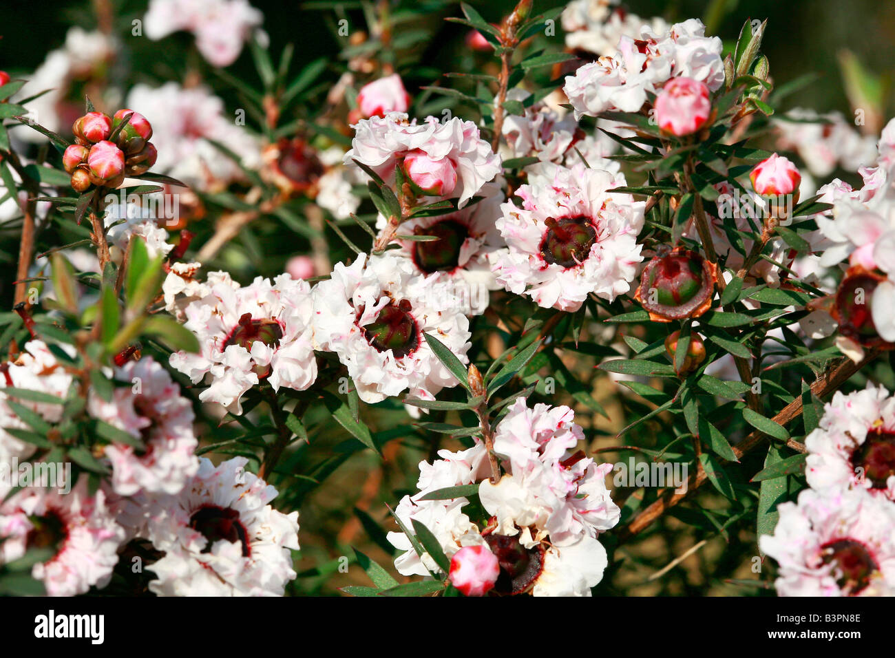 Leptospermum Scoparium, hybrid Stockbild