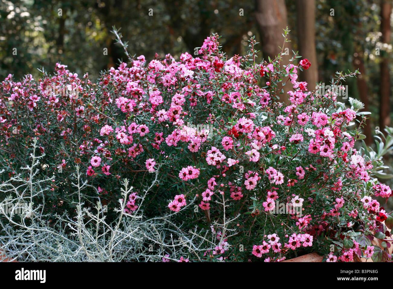 "Leptospermum Scoparium ""Jubilee"" Stockbild"