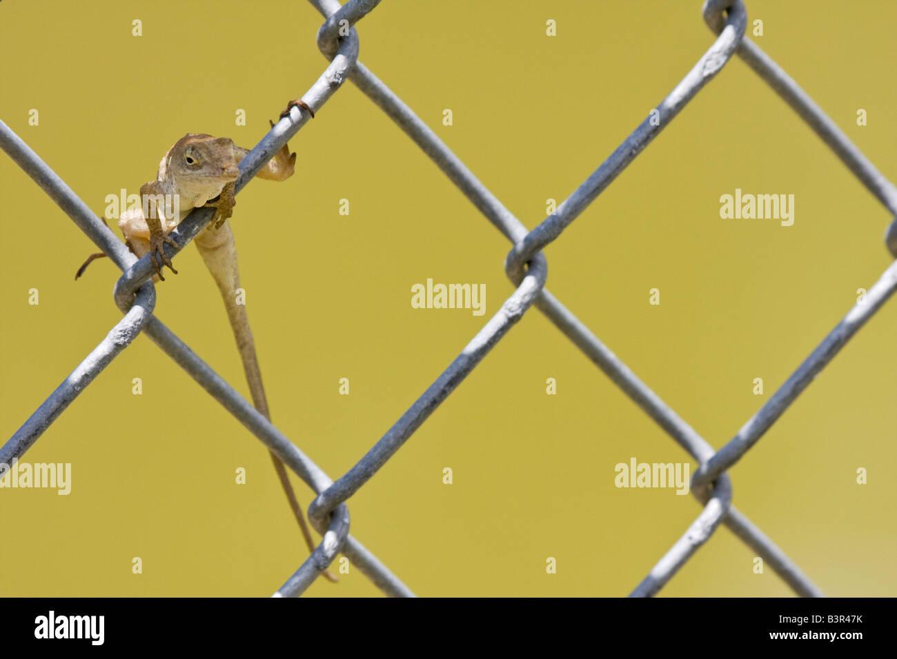 Small Brown Lizard Stockfotos & Small Brown Lizard Bilder - Alamy