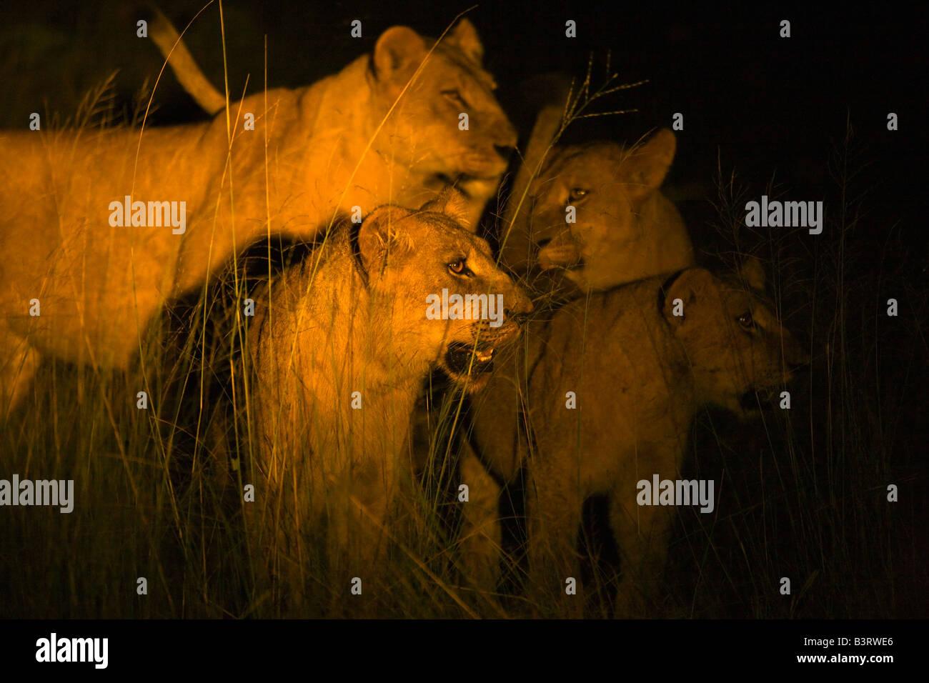 Löwen in der Nacht Stockbild