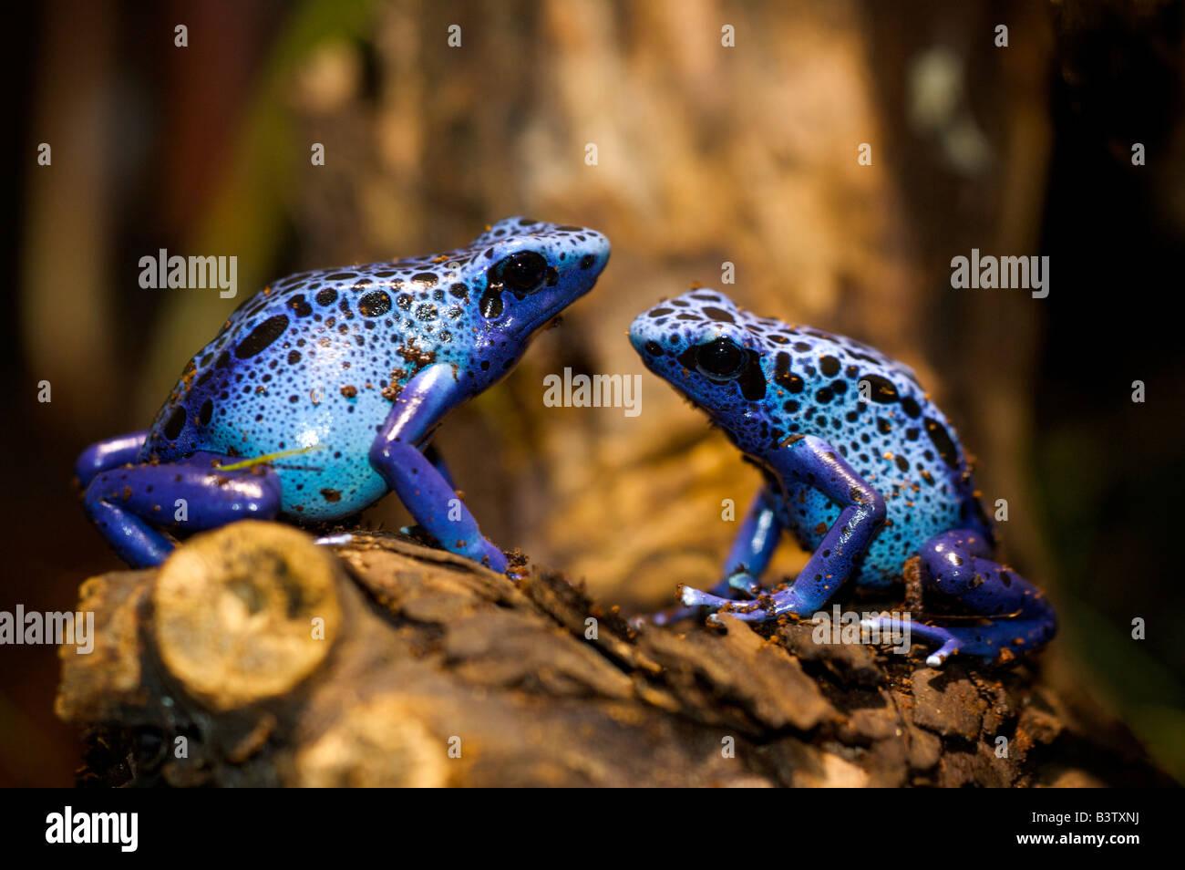 Färben vergiften Pfeil Frosch Dendrobates Tinctorius sitzen auf Holz ...
