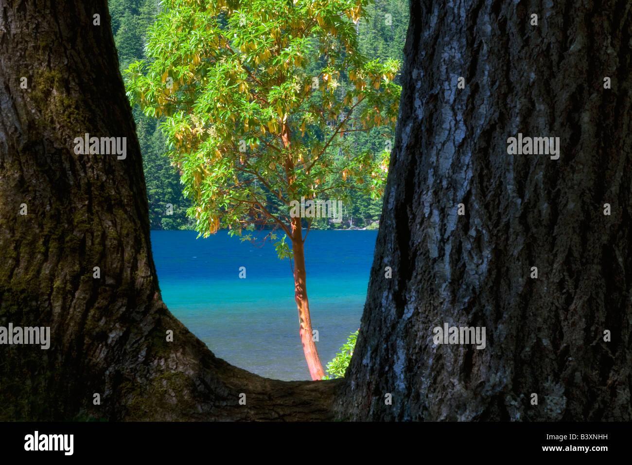 Madrone Baum gerahmt Lake Crescent Olympic Nationalpark Washington Stockbild