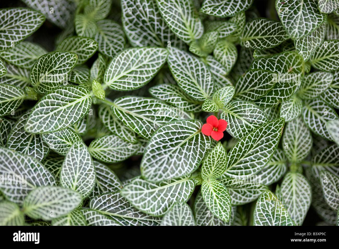 Fitotonia HB hautnah mit rote Blume Stockfoto