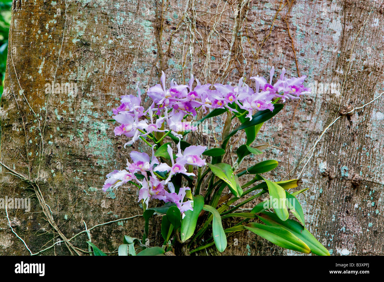 orchideen wachsen auf baum im national tropical botanical garden kauai hawaii stockfoto bild. Black Bedroom Furniture Sets. Home Design Ideas