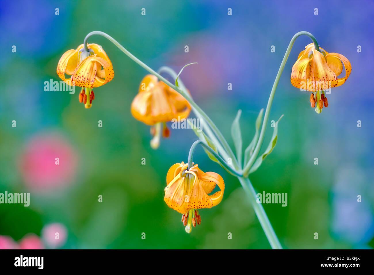 Tiger oder kolumbianischen Lilie Lilium Columbianum Hurricane Ridge Olympic Nationalpark Washington Stockbild