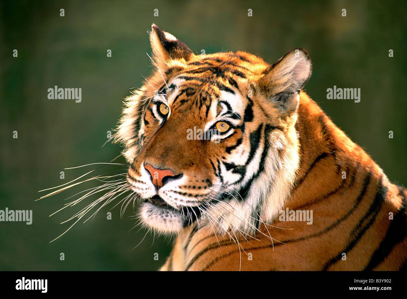 USA, California, Los Angeles County. Porträt von Bengal Tiger in Wildlife Waystation Rettungs-Anlage. (Captive) Stockbild