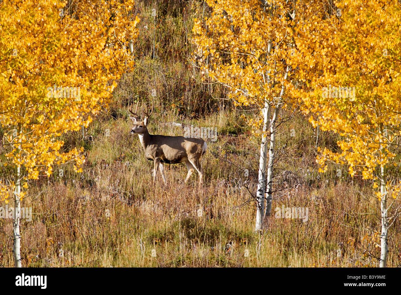 Buck Hirsch mit fallen farbige Espen Teton Nationalpark, WY Stockbild