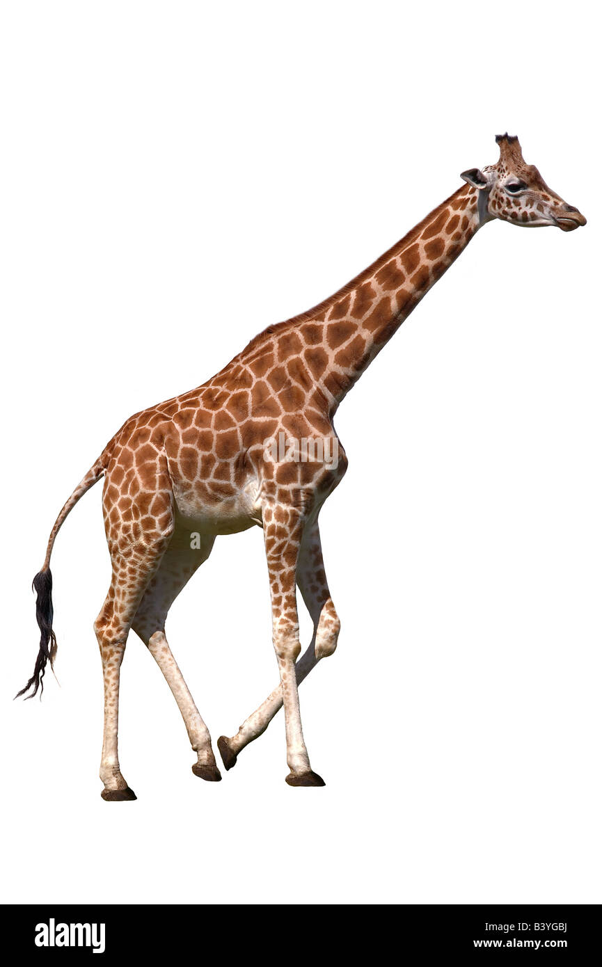 Giraffe isoliert auf weißem Hintergrund Stockbild