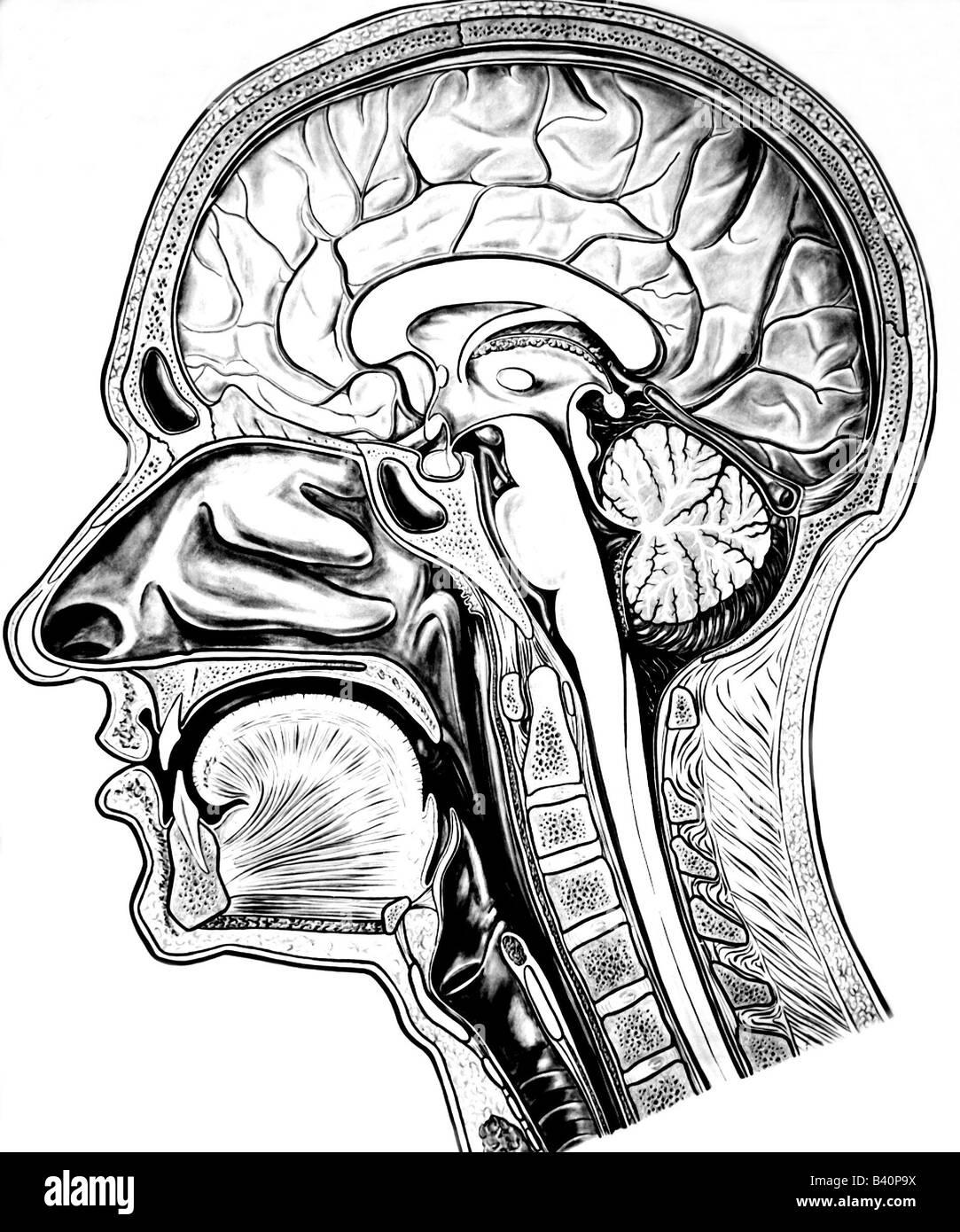 Groß Kopf Anatomie Des Gehirns Ideen - Menschliche Anatomie Bilder ...