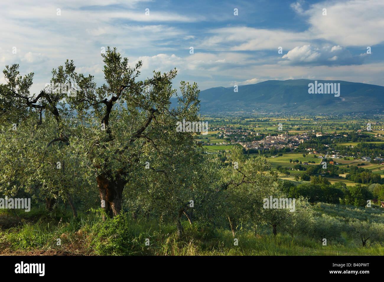 ein Olivenhain mit Blick auf Bevagna und Val di Spoleto, Umbrien, Italien Stockbild
