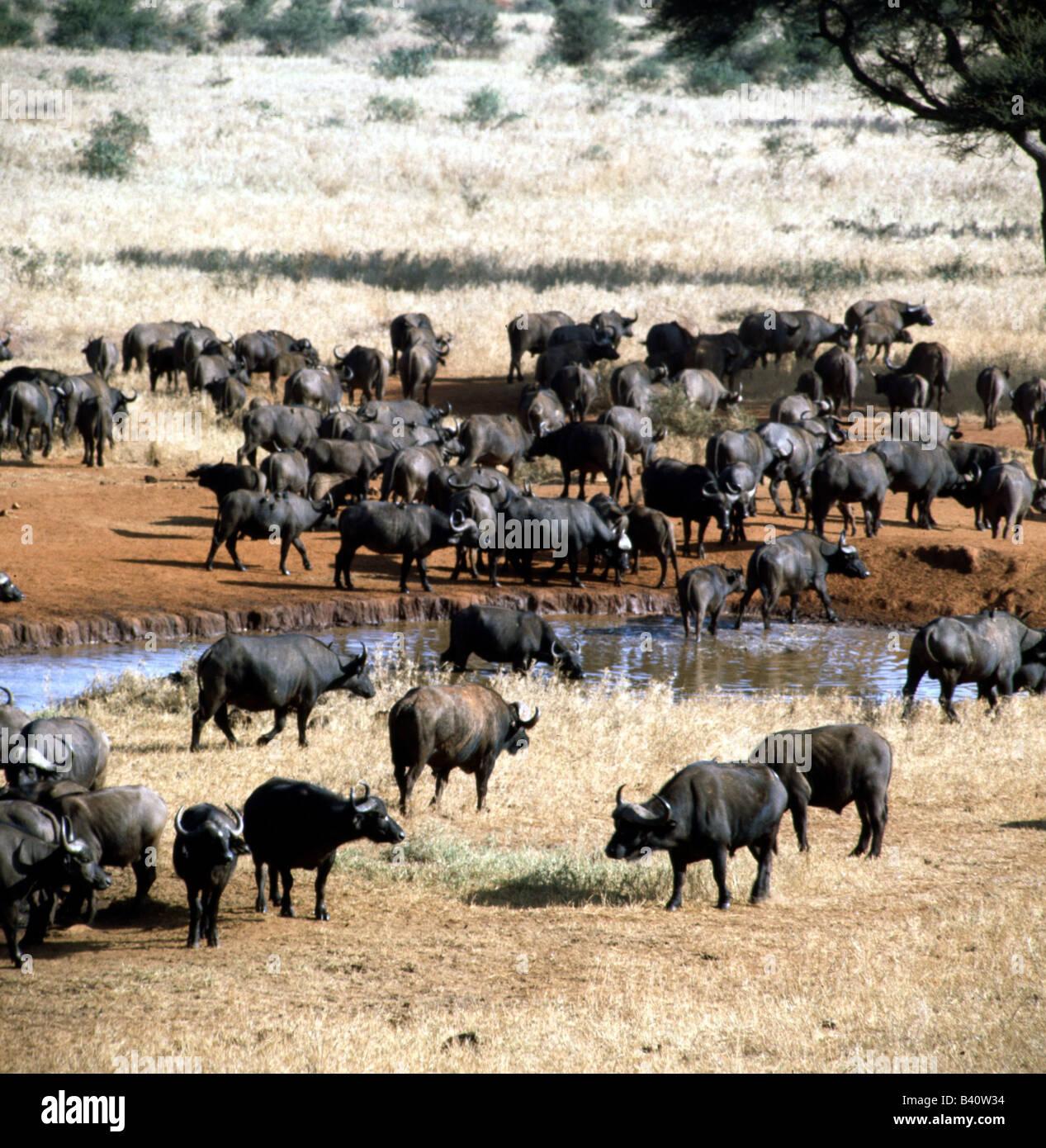 Zoologie / Tiere, Säugetier / Säugetier, Horntiere, afrikanische ...