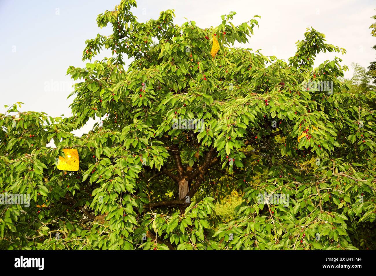 Falle für Europäische Kirsche Fruchtfliege Stockbild