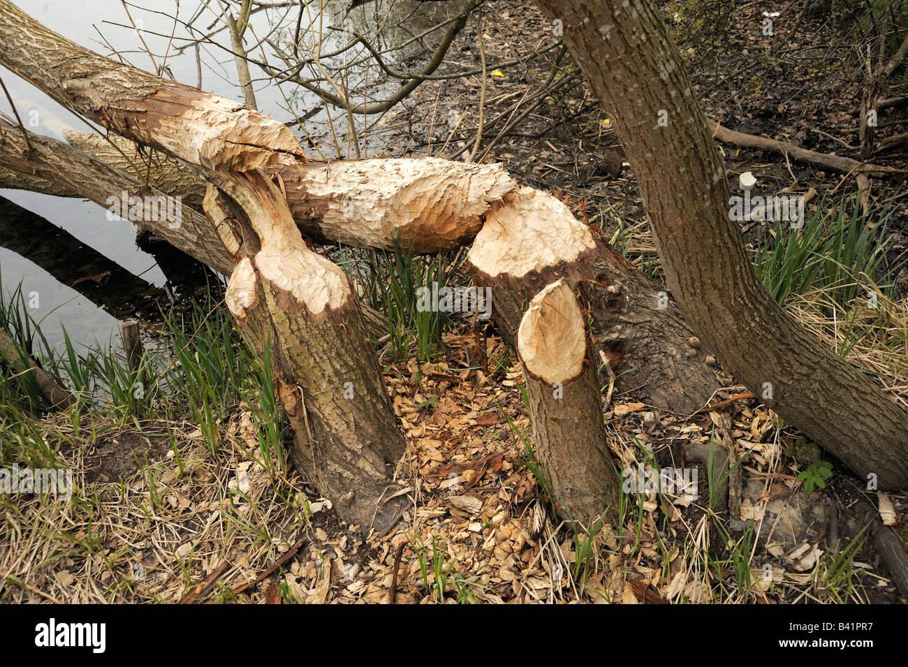 Markierungen an Bäumen nagen an der Aare in der Nähe von Bern, Schweiz Stockbild