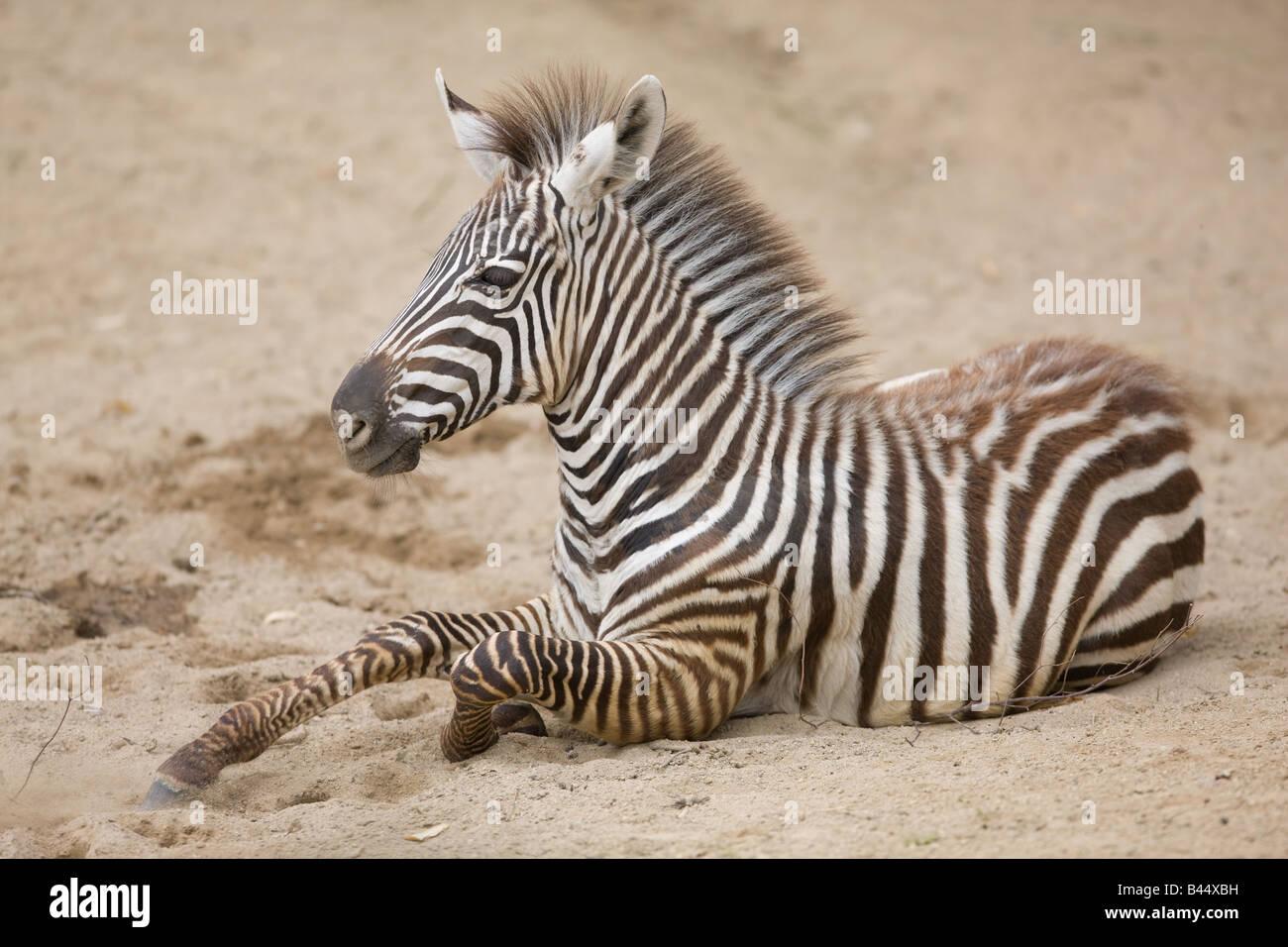 Schön Zebra Farbseiten Ideen - Malvorlagen Von Tieren - ngadi.info