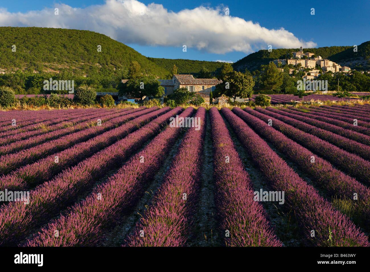 ein Lavendelfeld mit dem Dorf Banon jenseits der Vaucluse, Provence, Frankreich Stockfoto