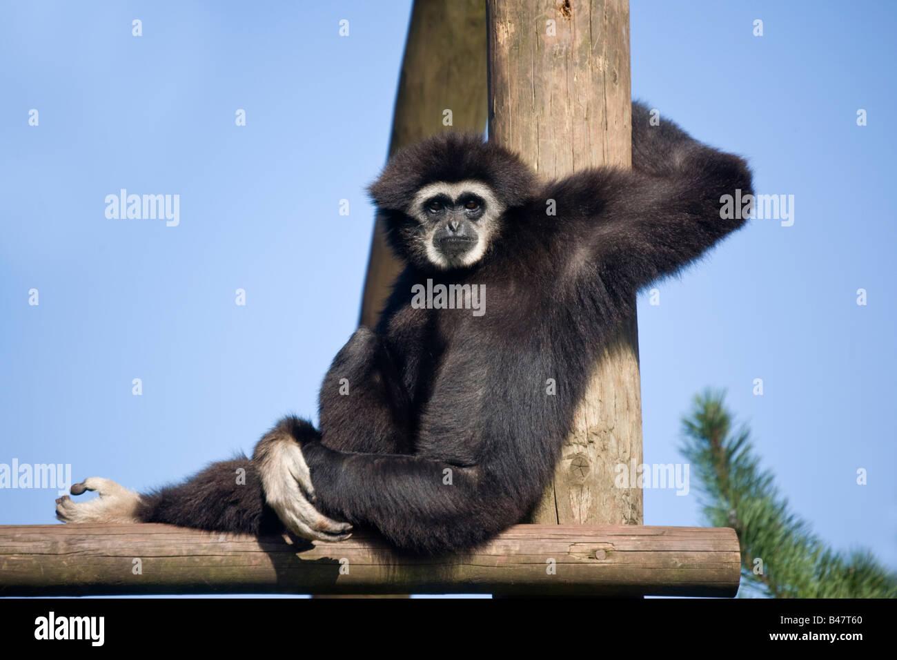 Weiß übergab Gibbon Stockfoto