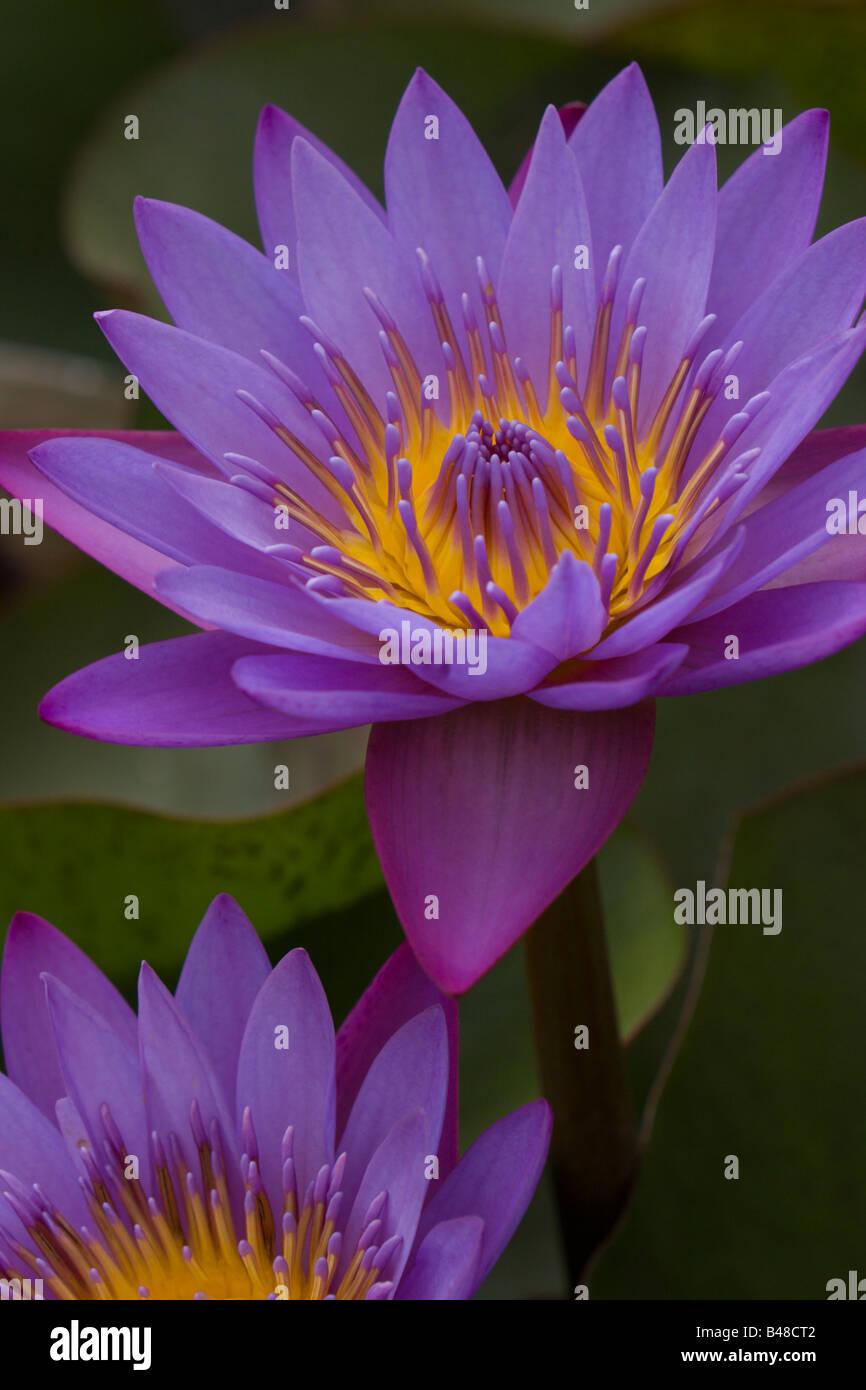 Blauwasser Llilly Lillies exotische Peru Blume Blumen Farbe Cloour bunt Stockbild
