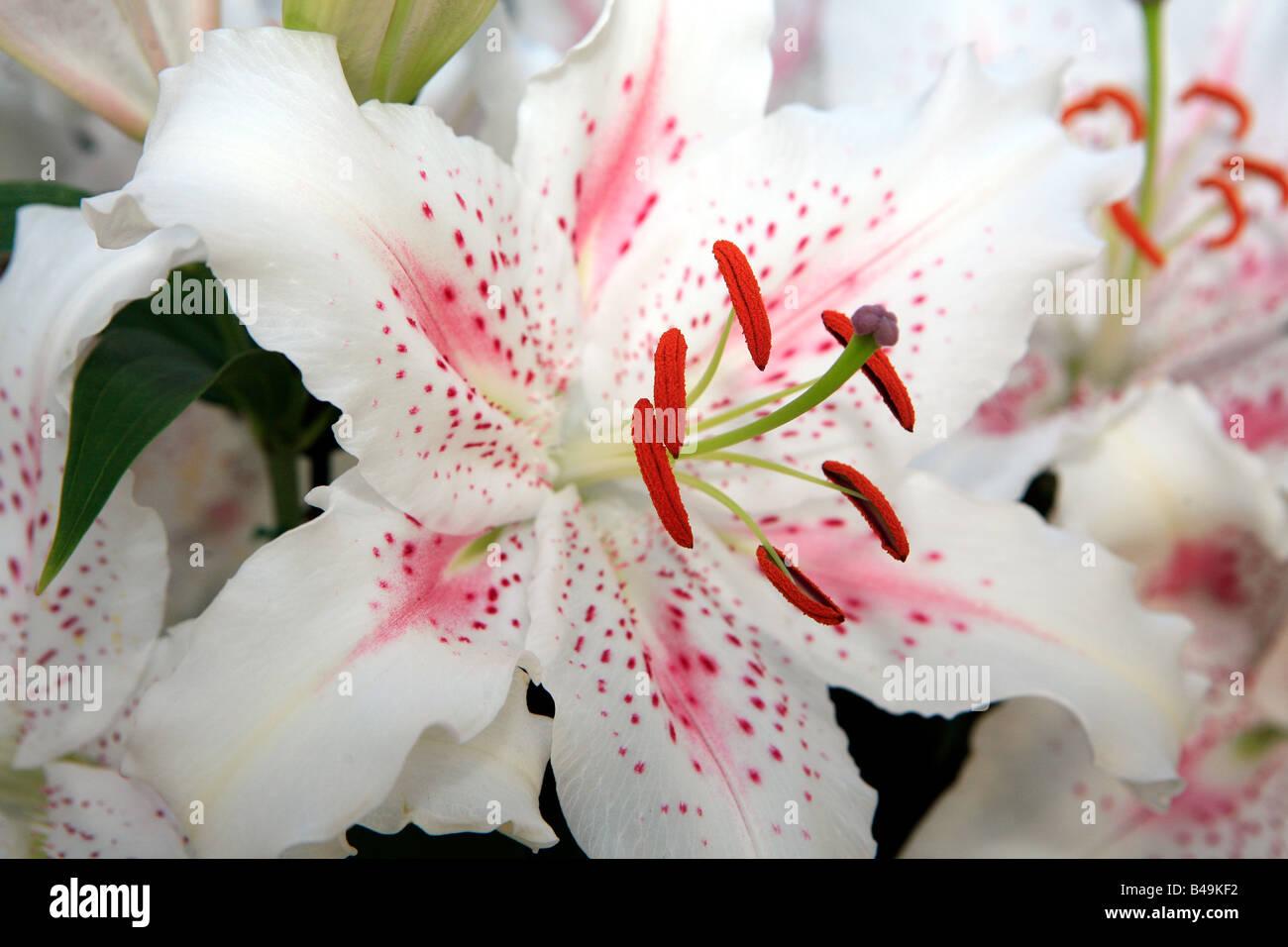 Nahaufnahme der Blüte weiße exotische Lilien Stockbild