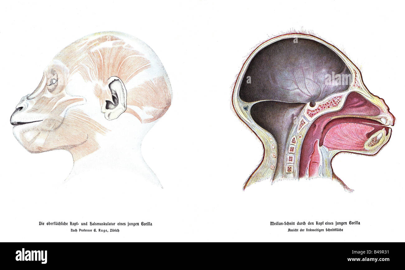 Zoologie/Tiere, Affen, Schimpansen, Links: Muskulatur von Kopf ...