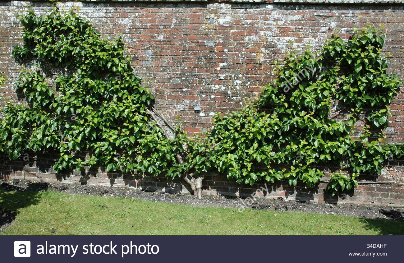Pflaume Prunus Domestica Transparent Salbei fan Stockfoto