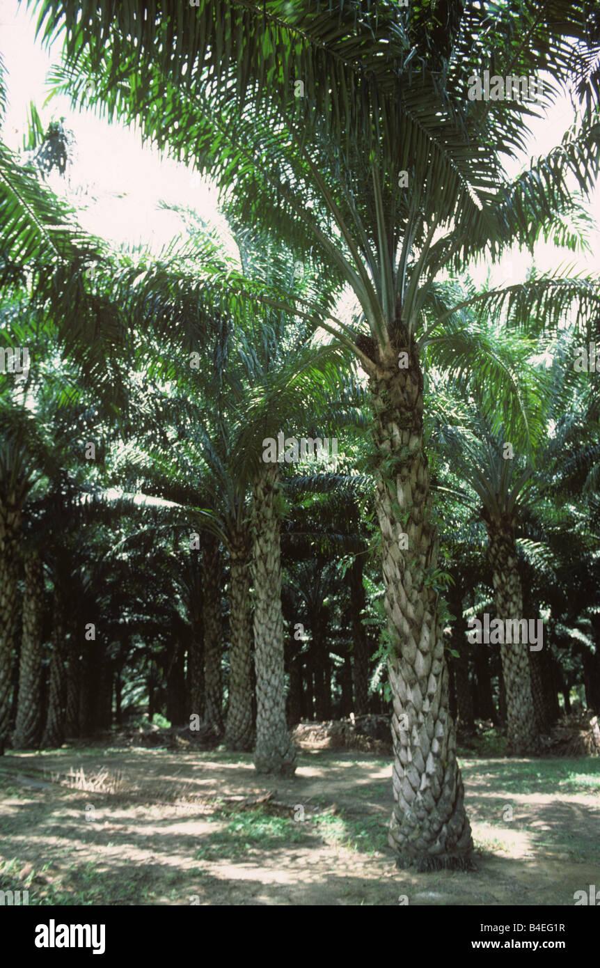 Fünfzehn Jahr alt Ölpalmen-Plantage mit großen Palmen gegründet Farne Malaysia Stockbild