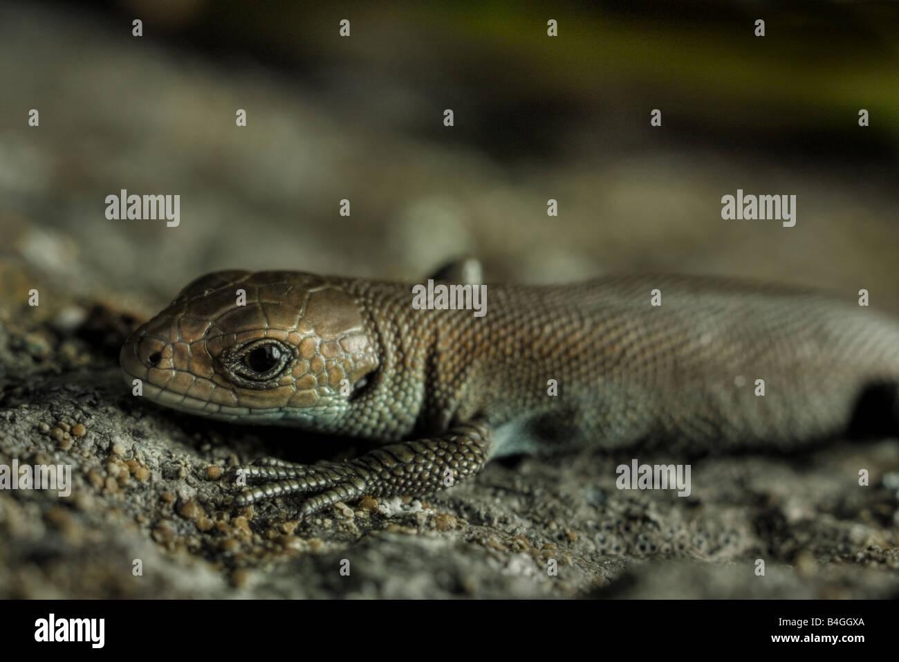 Wirklich junge europäische gemeinen Eidechse (Lacerta Vivipara) Stockfoto