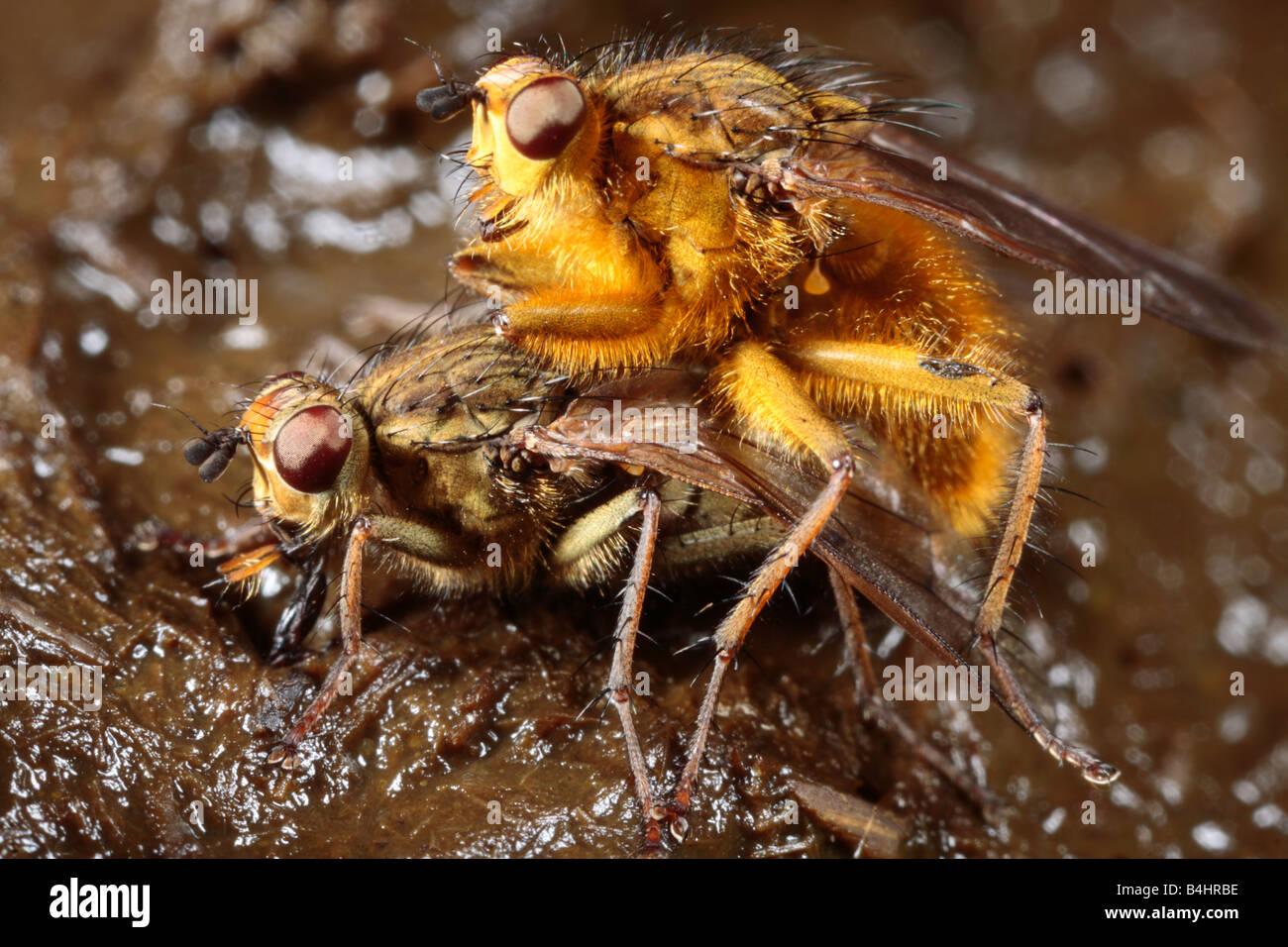 Gelbe Dungfliegen (Scathophaga Stercoraria) das Männchen bewacht ein Weibchen zur Eiablage. Powys, Wales, UK. Stockbild