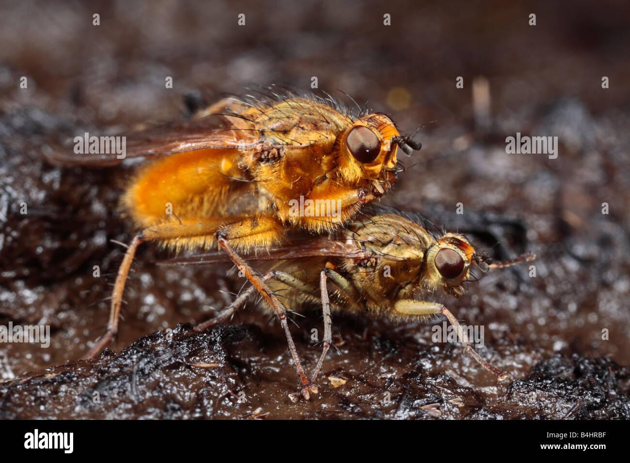 Gelbe Dungfliegen (Scathophaga Stercoraria), das Männchen bewacht ein Weibchen zur Eiablage. Powys, Wales, Stockbild