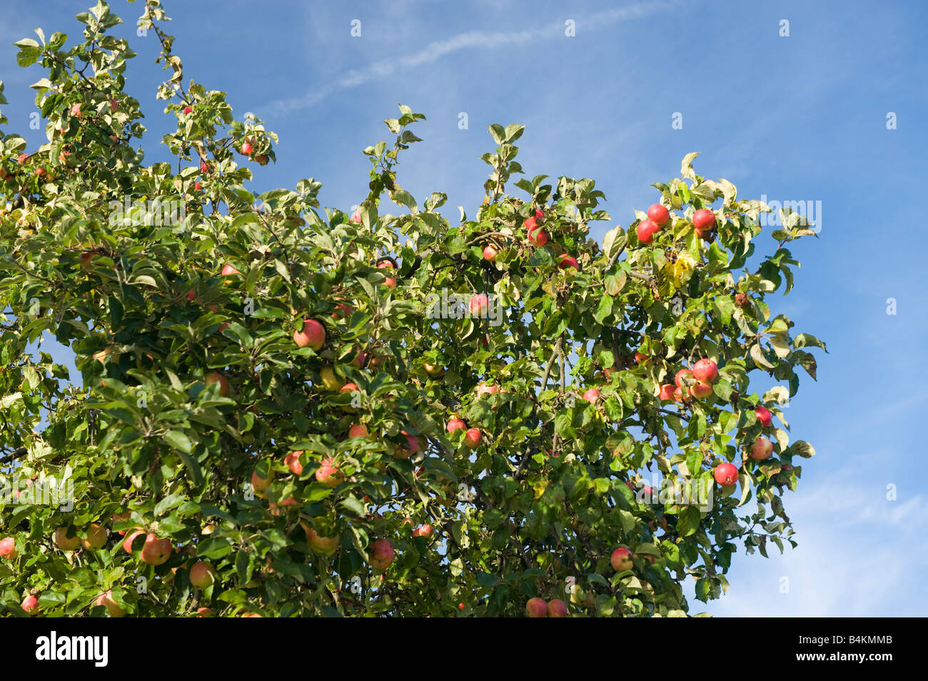 gro en apfelbaum mit reifen pfel zur ernte blauer himmel rote pfel reichen gro e ernte garten. Black Bedroom Furniture Sets. Home Design Ideas